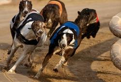 Greyhound Racing Owlerton Stadium Sheffield